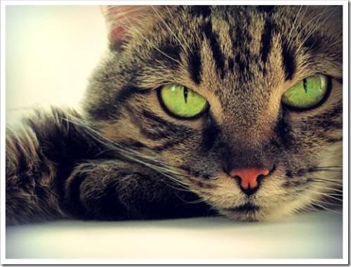Аллергию вызывают только пушистые кошки?