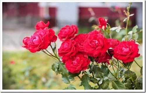 Основные рекомендации для выращивания роз в открытом грунте